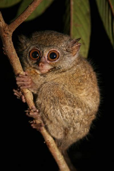 The tarsier primate is so very cute | Nature - BabaMail