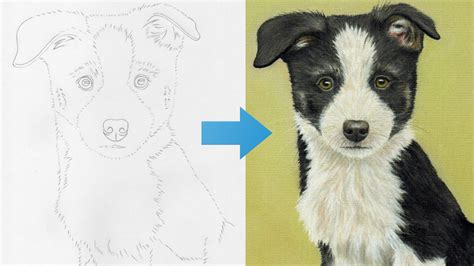 Draw a Border Collie Puppy using Pastel Pencils | StackSkills