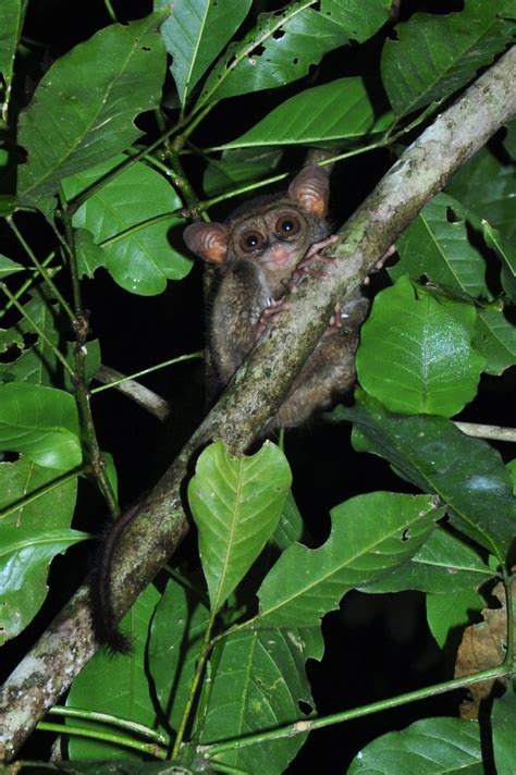 Tarsier Facts, Pictures & Info: Discover A Nocturnal
