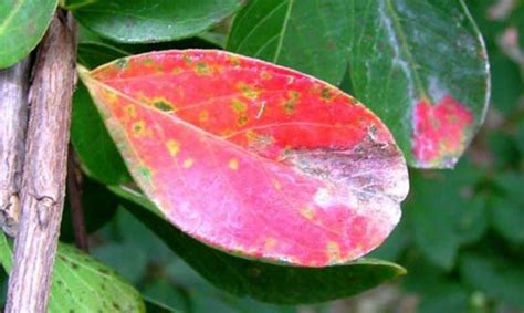Weekend Gardening: Spots On Your Crape Myrtle May Mean
